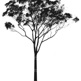 Eucalyptus or Gum Tree Silhouette