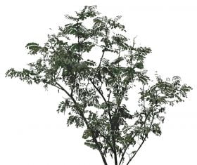 Black Locust or Robinia Pseudoacacia Tree