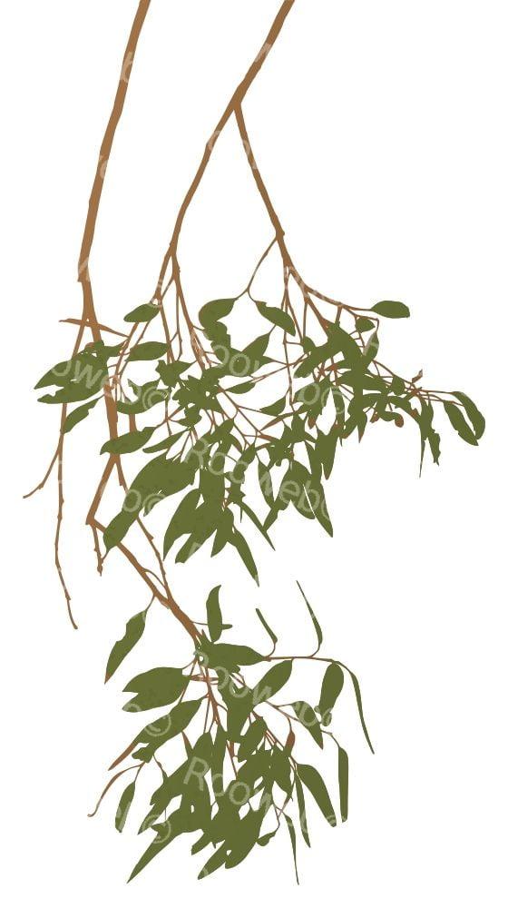 Eucalyptus Gum Tree Branch Australia Clipart - Rooweb