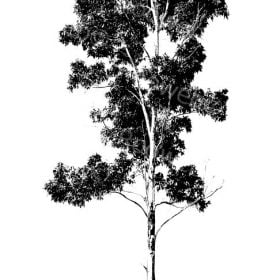 Gum Tree Drawing