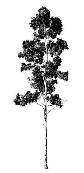 Gum Tree Drawing