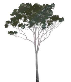Eucalyptus or Gum Tree Australia