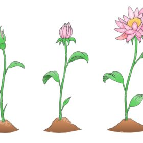 Flower Growth Stages