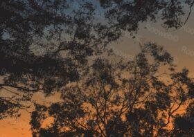 Australian sunset eucalyptus trees in sunset