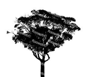Large Gum Tree or Eucalyptus Tree